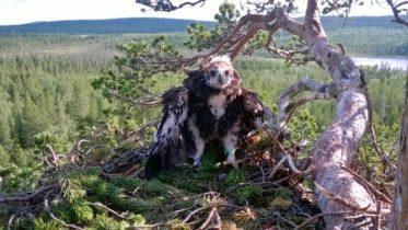 Armoitettu lintumies Ahtinen tekee tärkeää työtä petolintujen suojelun eteen. Historiallisen 500. rengastuksen hän teki Savukoskella. Kuva: Jarmo Ahtinen.