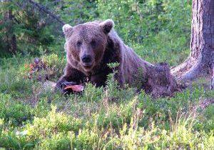 Syksyn karhujahti alkaa lähestyä loppuaan Lapin poronhoitoalueilla. Kuva: Suomen Riistakeskus/Keränen